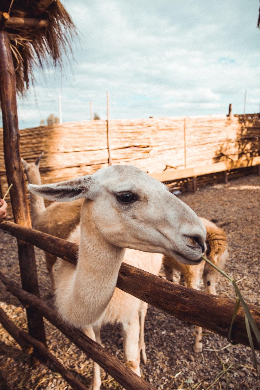 white alpaca near fence