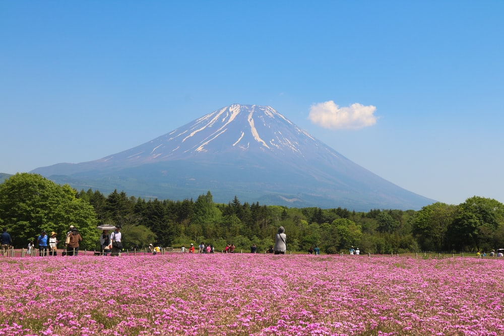 pink flower field near mountain