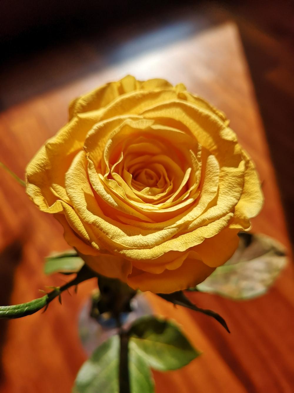 mawar kuning cantik