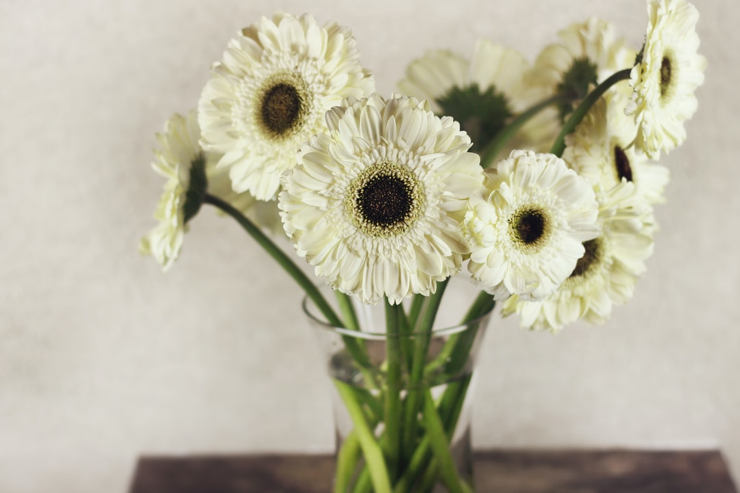 Clear large glass vase with a dozen Gerbera white daisies flowers on cut stems arranged in a nice floral arrangement on a wooden table. Nice home decor.