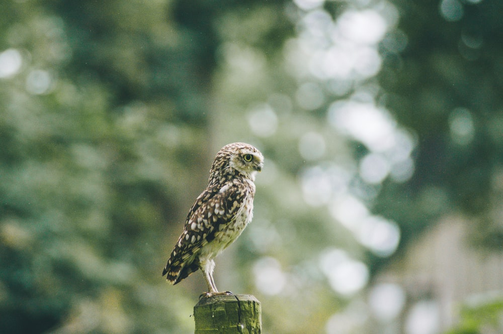 brown owl on tree