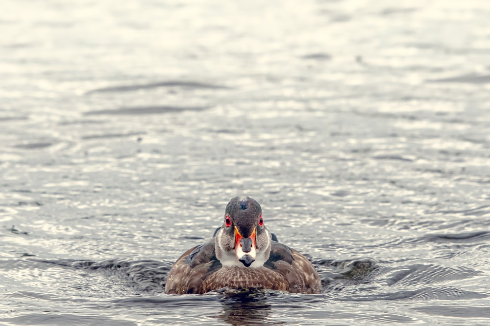 duck floating on body of water