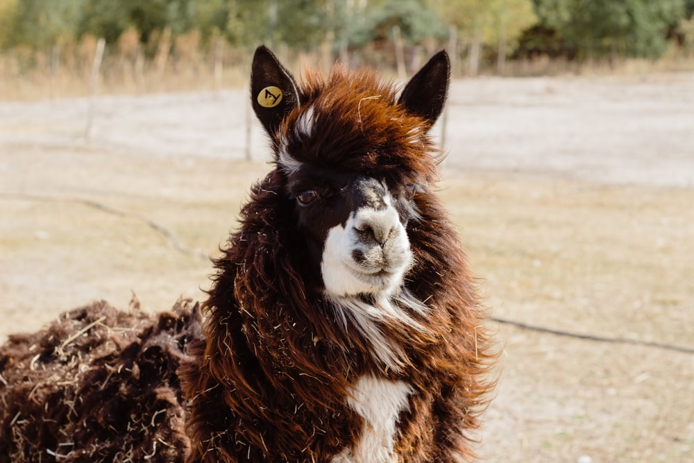 portrait of brown and white Llamaa