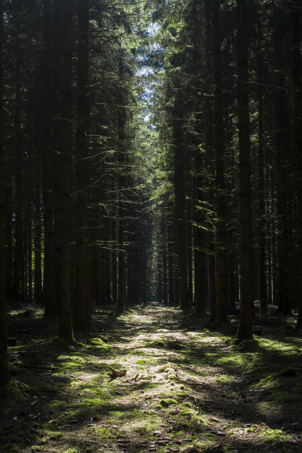 pine tree forest scenery