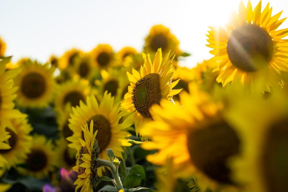 shallow focus photo of sunflowers