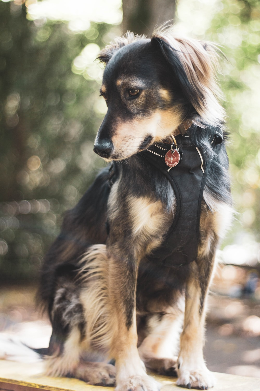 black and brown long-coat small dog