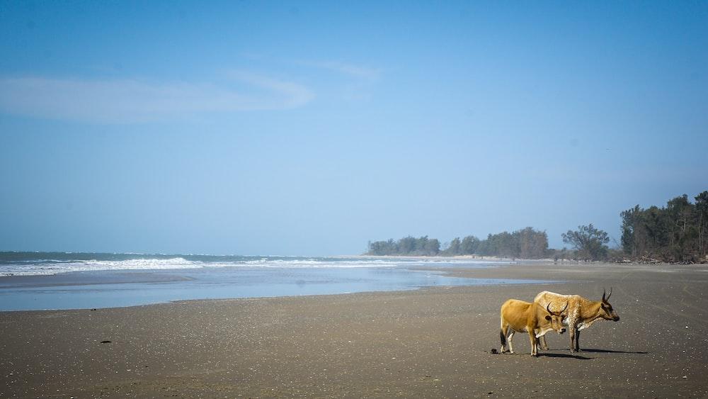 two brown cows on seashoe