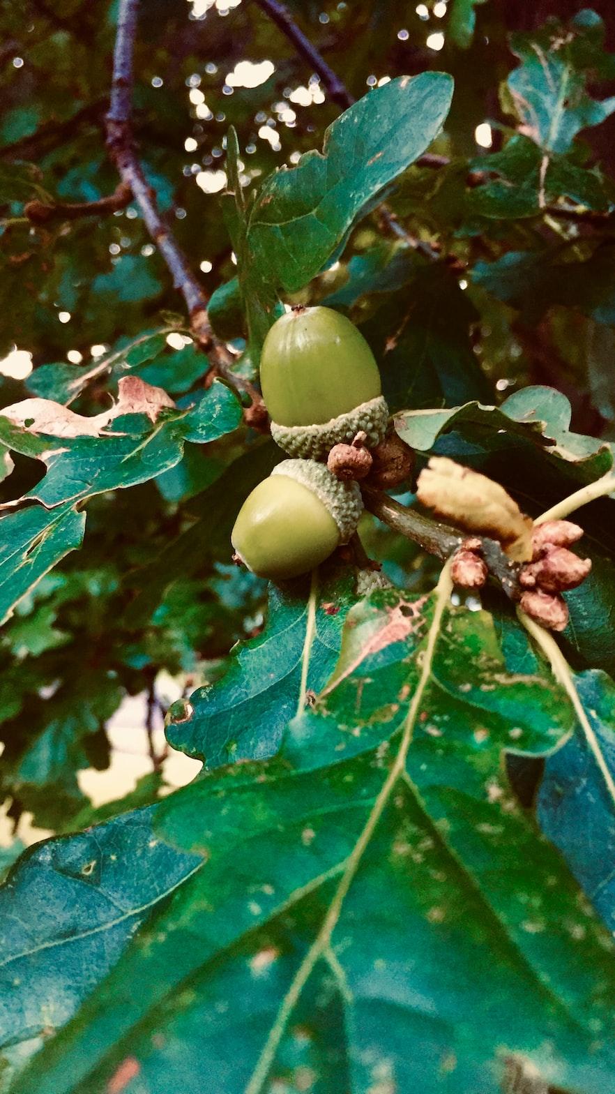 Acorns still on an oak tree