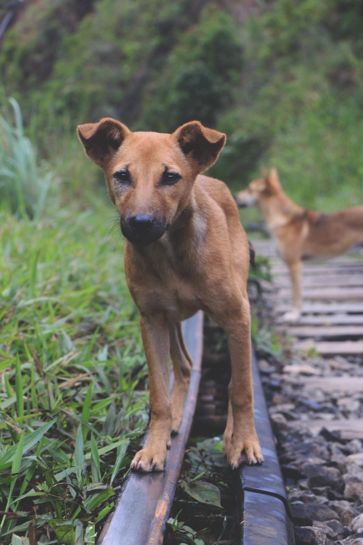 dog on trail railway