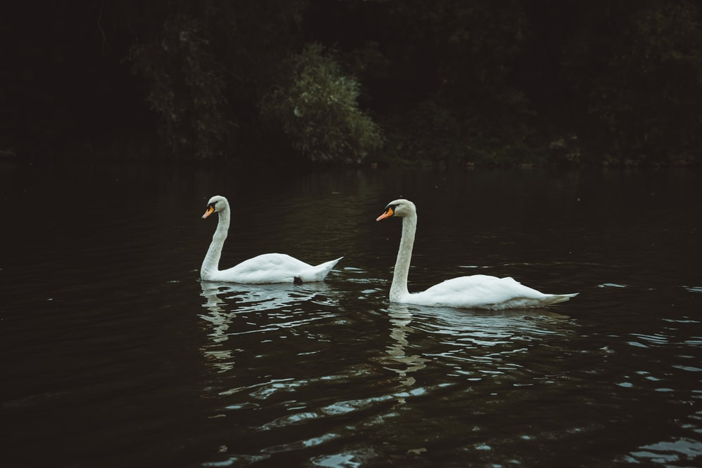 two white swans floating on river