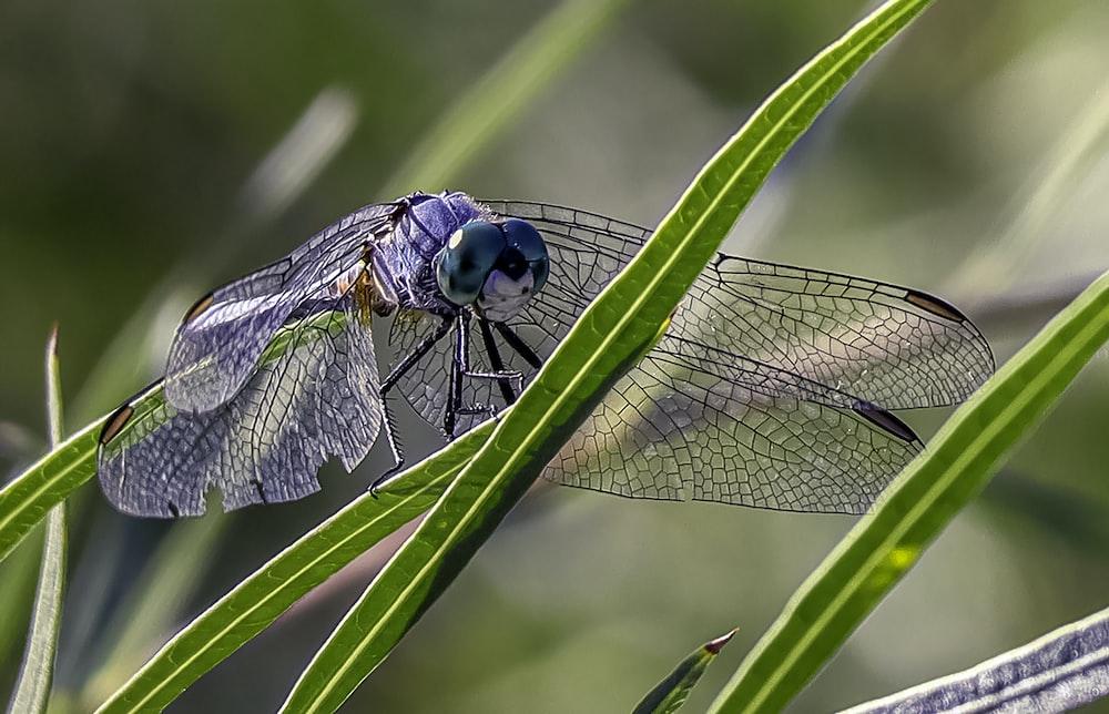 blue dragonfly on leaf