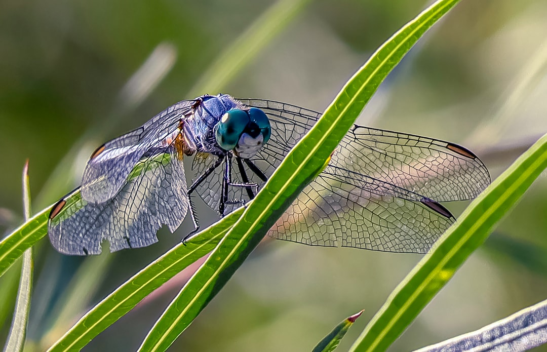A cool blue dragonfly taking in its surroundings