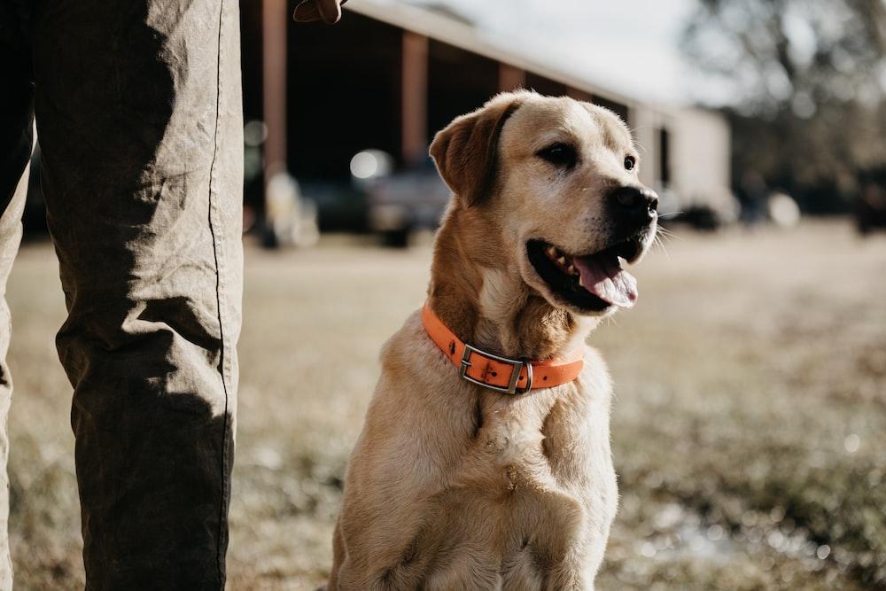 sitting adult Labrador retriever beside standing person