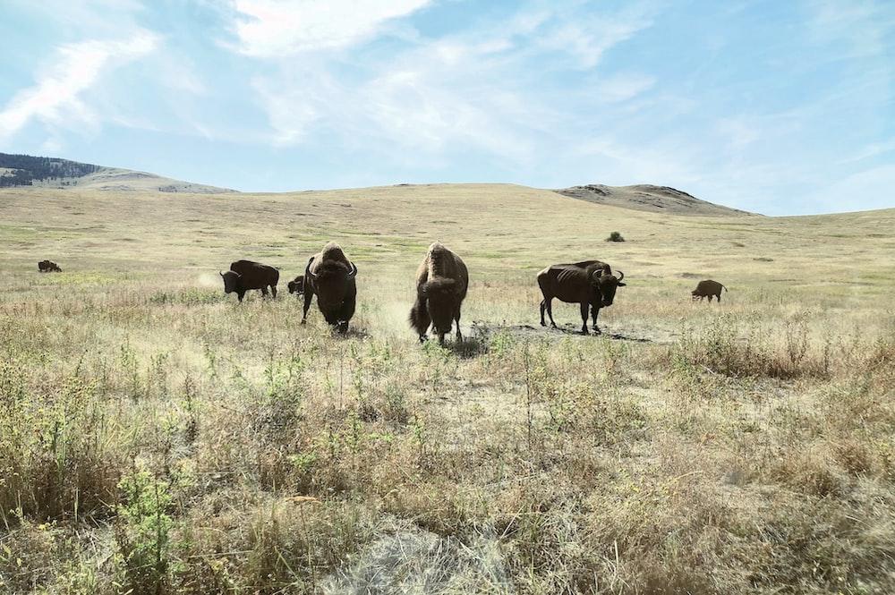 black bull on green grass
