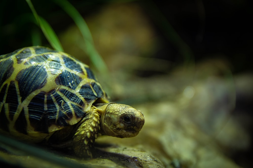 photo of black and yellow turtle
