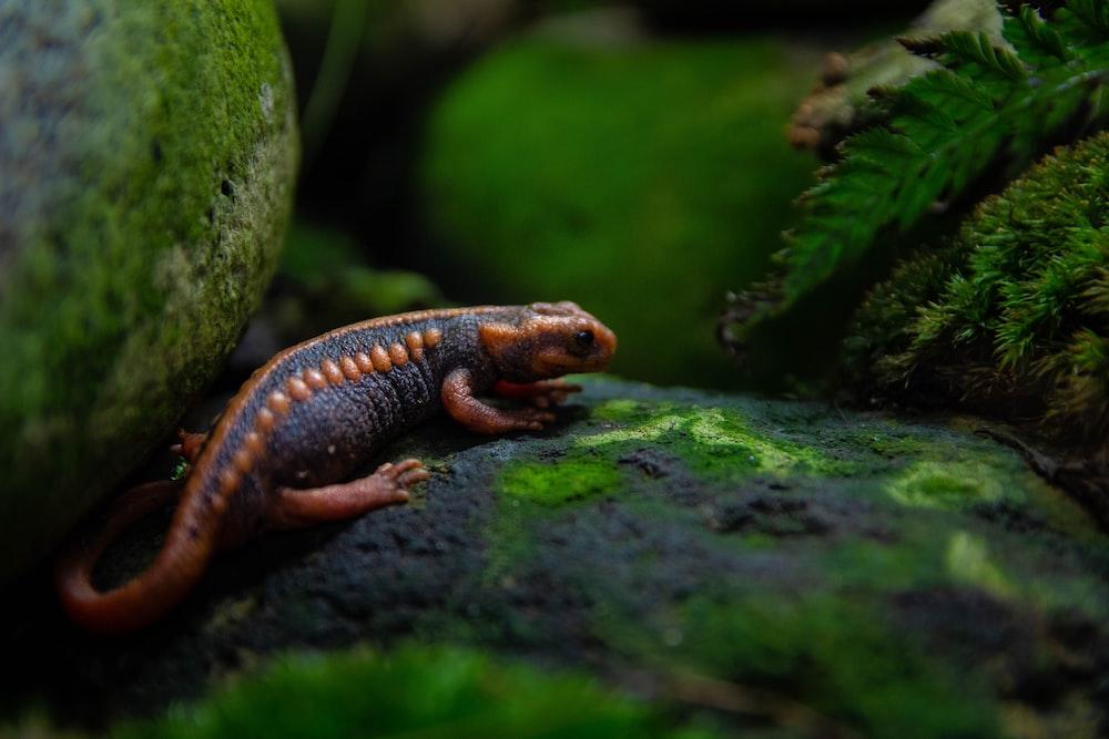 black and orange lizard