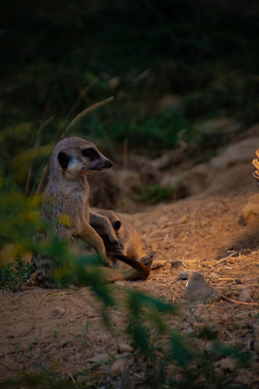 gray meerkat
