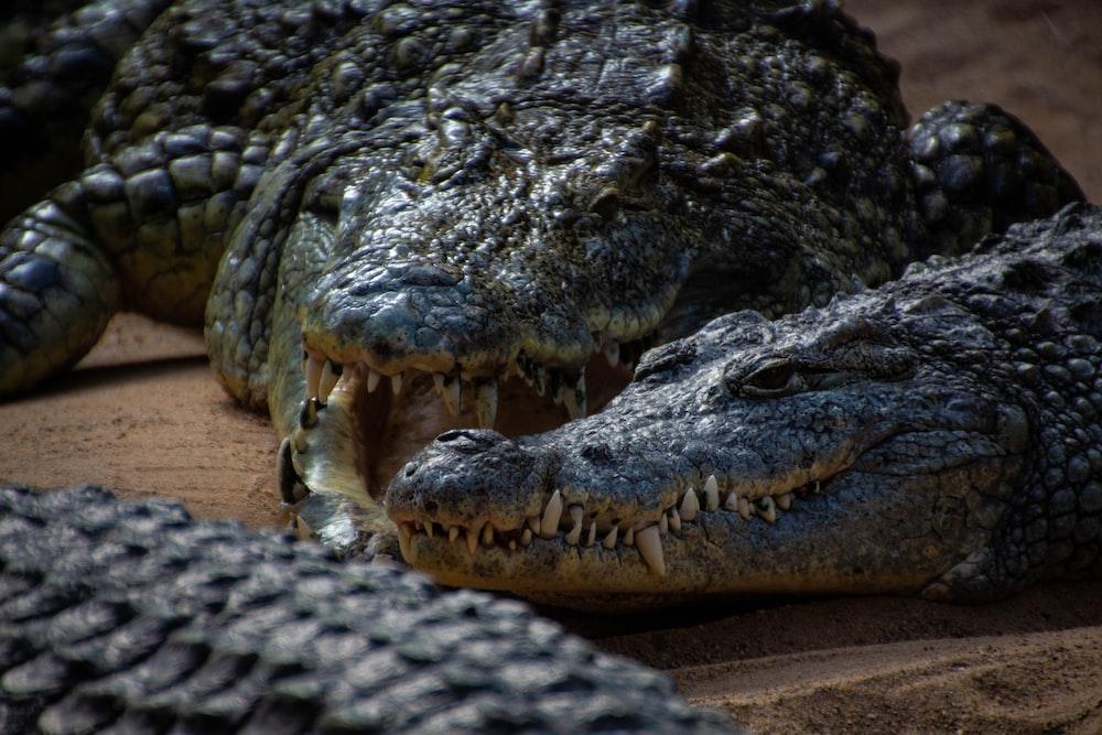 black and gray crocodiles