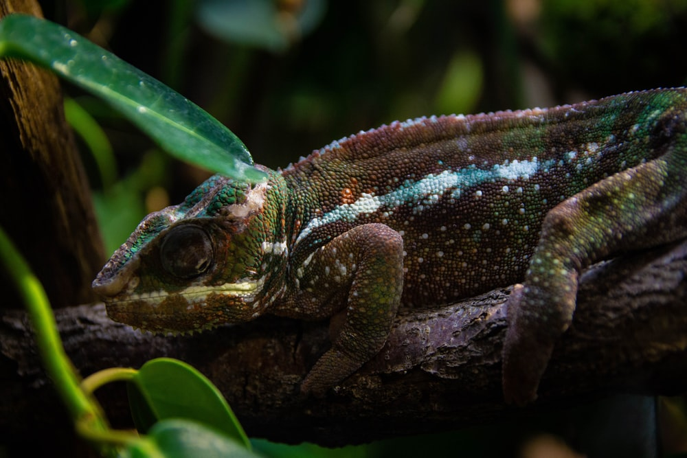 brown and green lizard