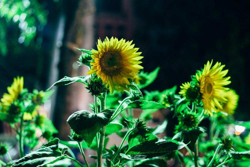 yellow sunflowers