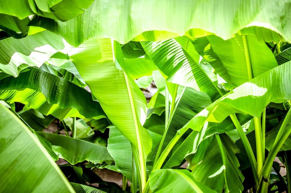 green banana leaves