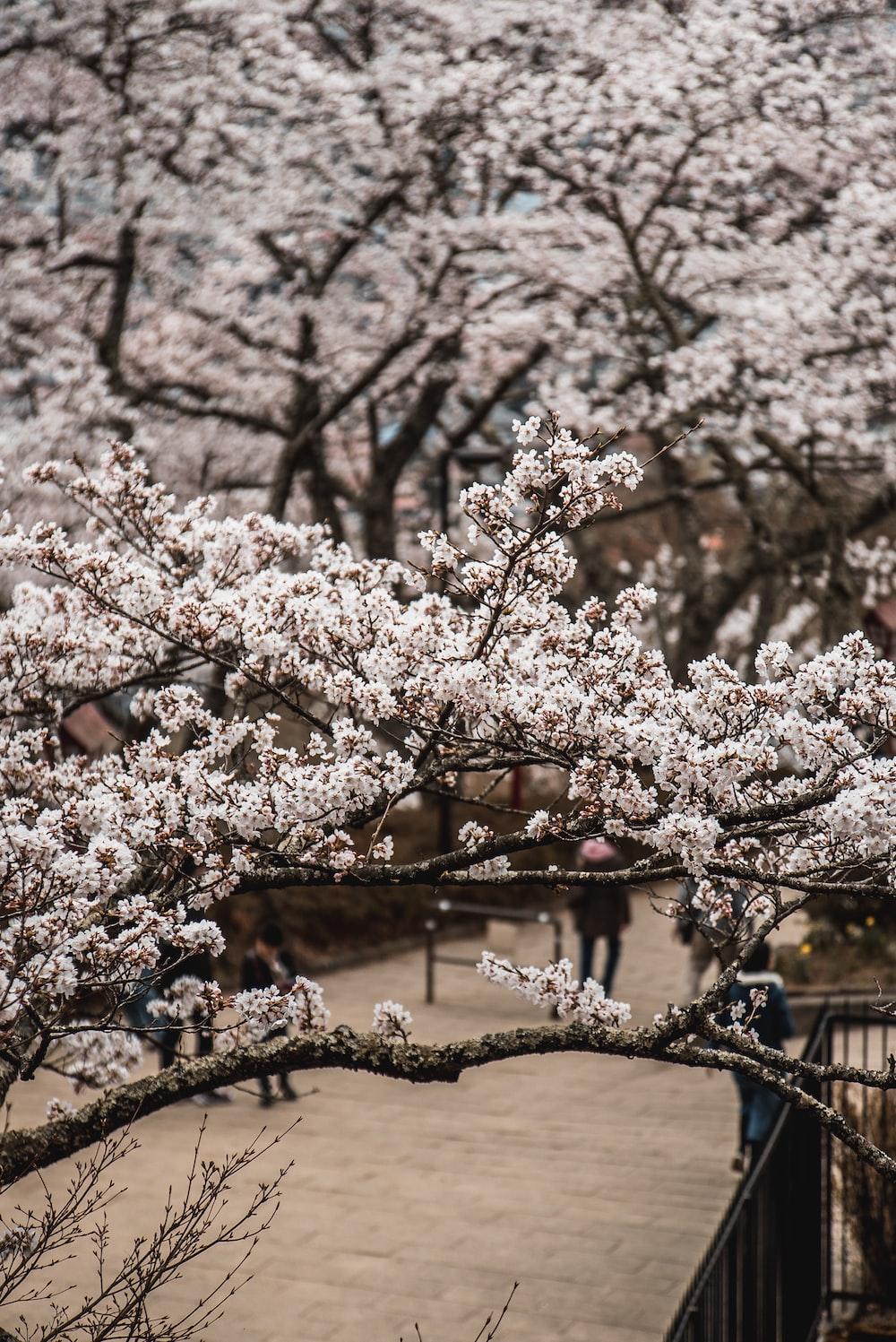 pink cherry blossom tree