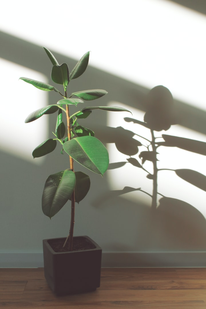 How a Ficus Saved MyLife