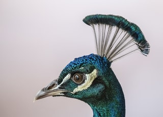 A Peacock Head with Crest