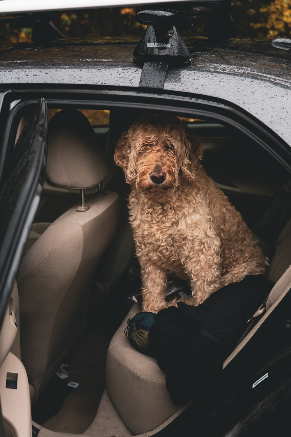 curly-haired brown dog inside vehicle