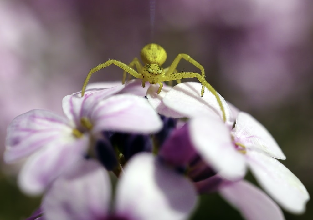 selective focus photography of a yellow spider on pink flowers