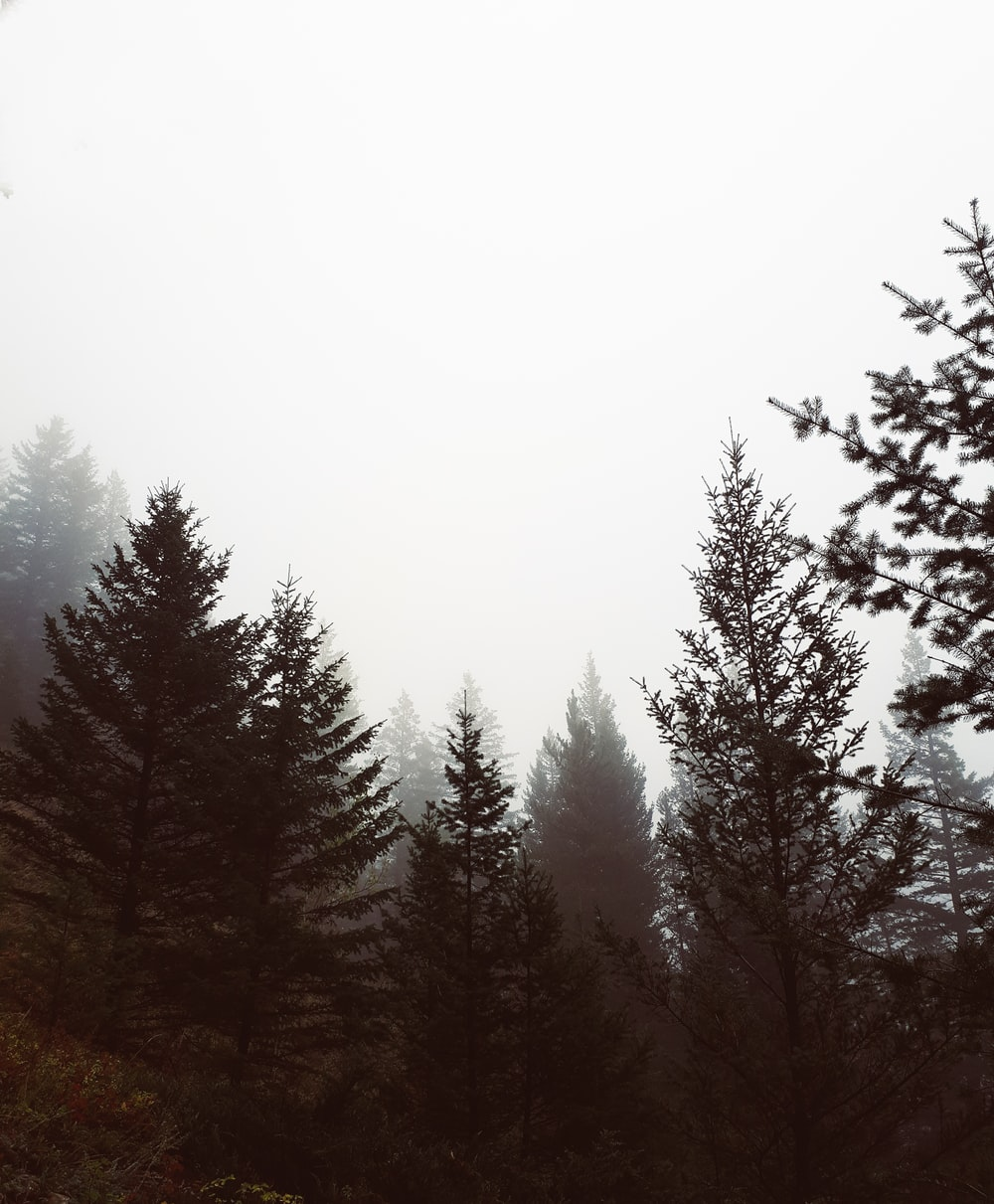 trees with fog