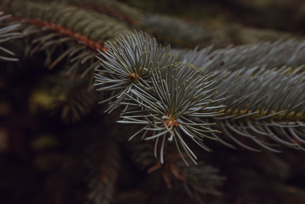 closeup photography of pine leaf