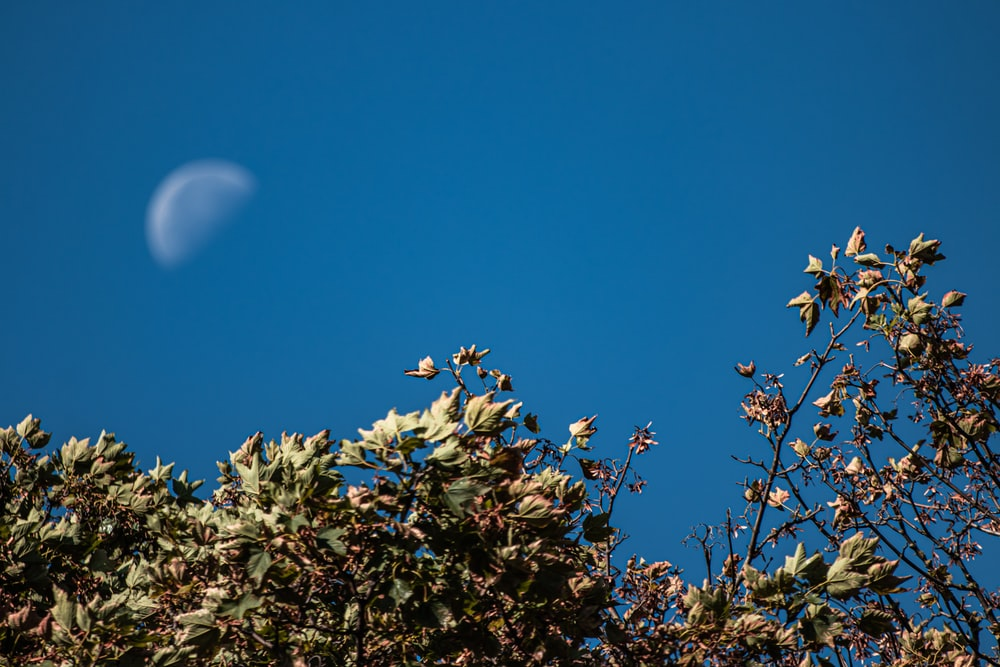 low angle photography of green tree under clear sky with moon