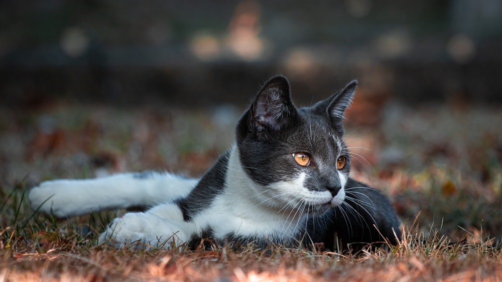 white and black cat lying on grass
