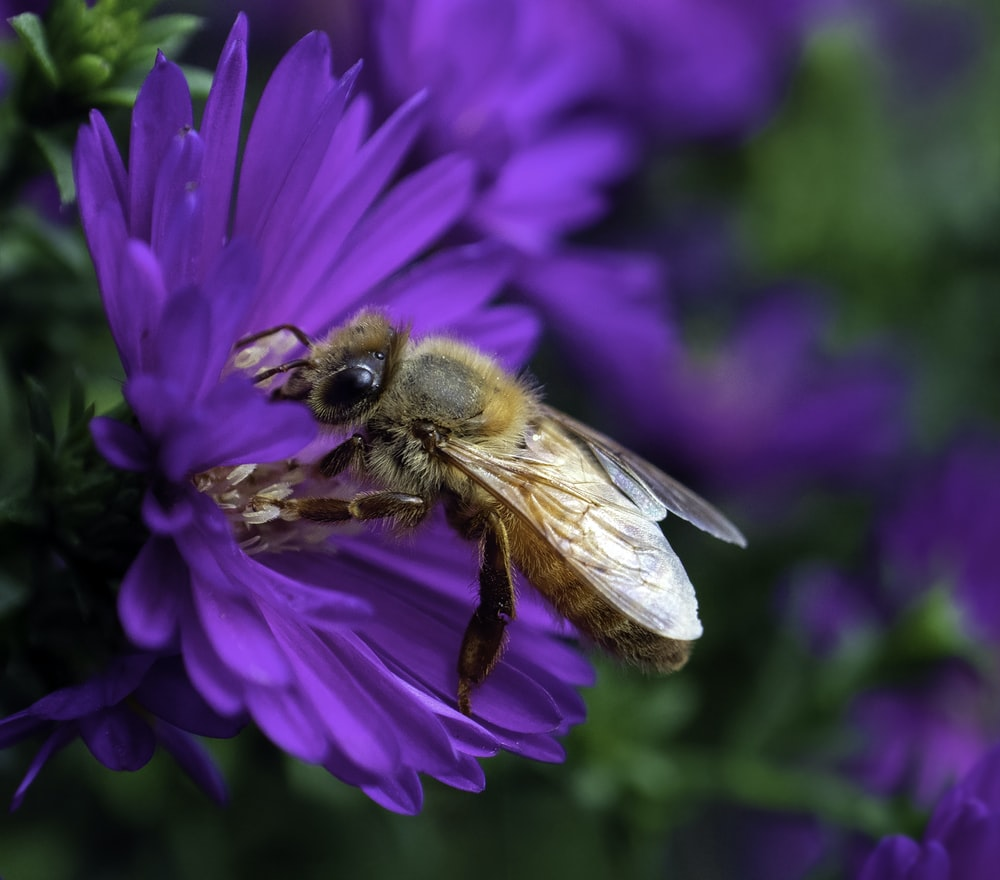 brown bee sticking on purple petaled flower in close-up photo