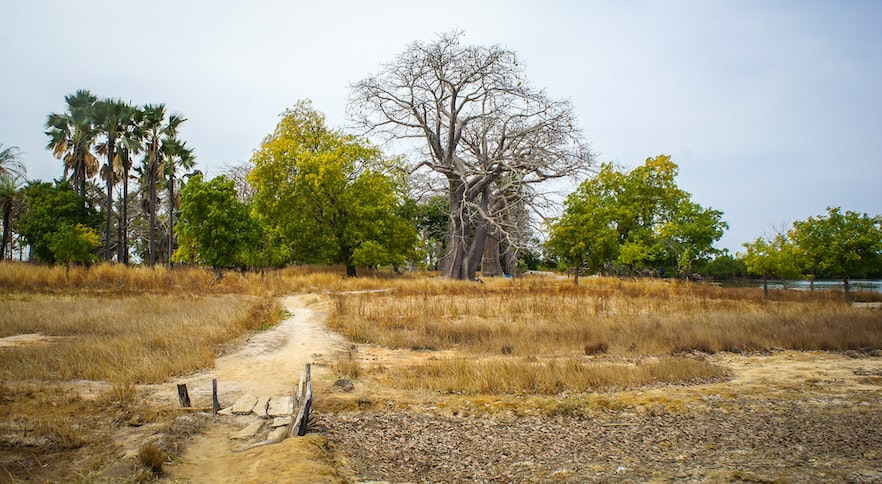 Senegalese field with a barren tree