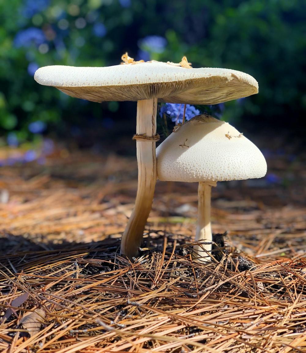 two beige mushrooms