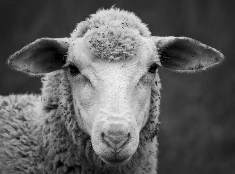 selective-focus photograph of sheep