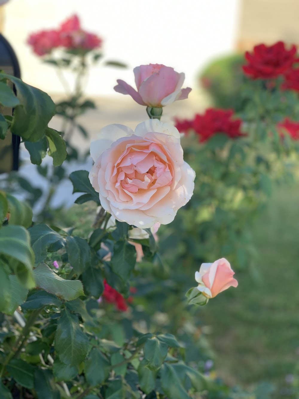pink rose flower during daytime