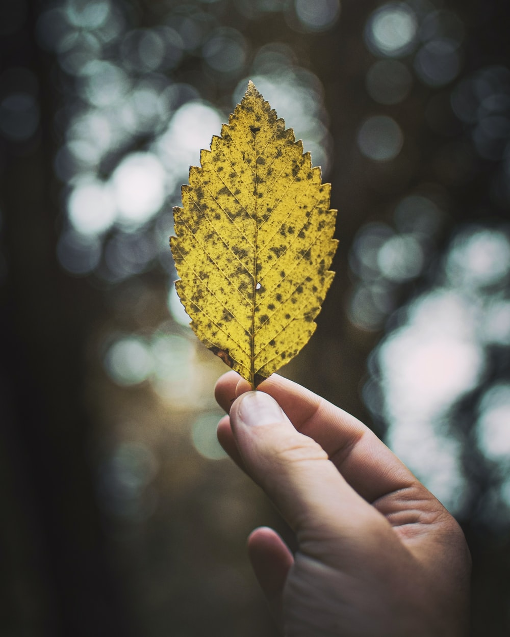 person holding brown leaf