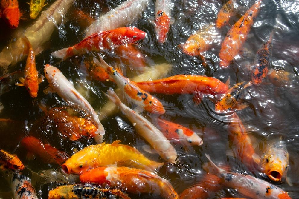 koi fish swimming in water