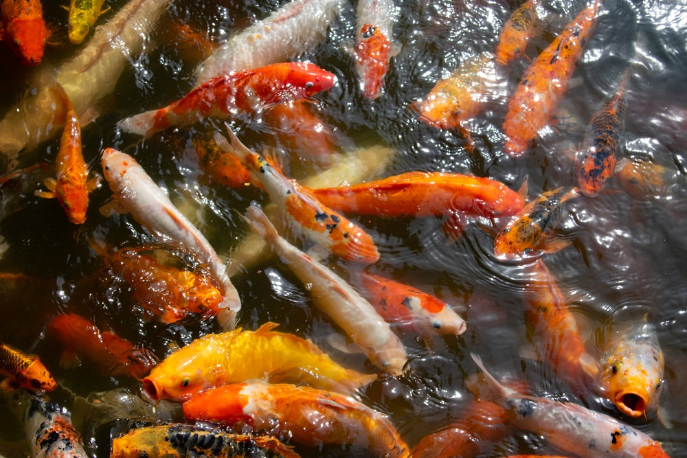 koi fish swimming in water