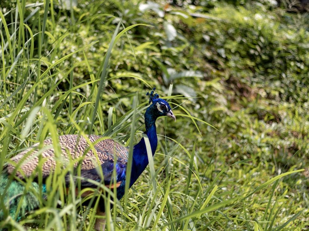 Peacock standing on grass field
