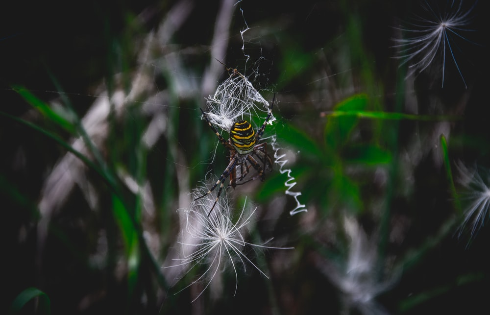 yellow and brown garden spider