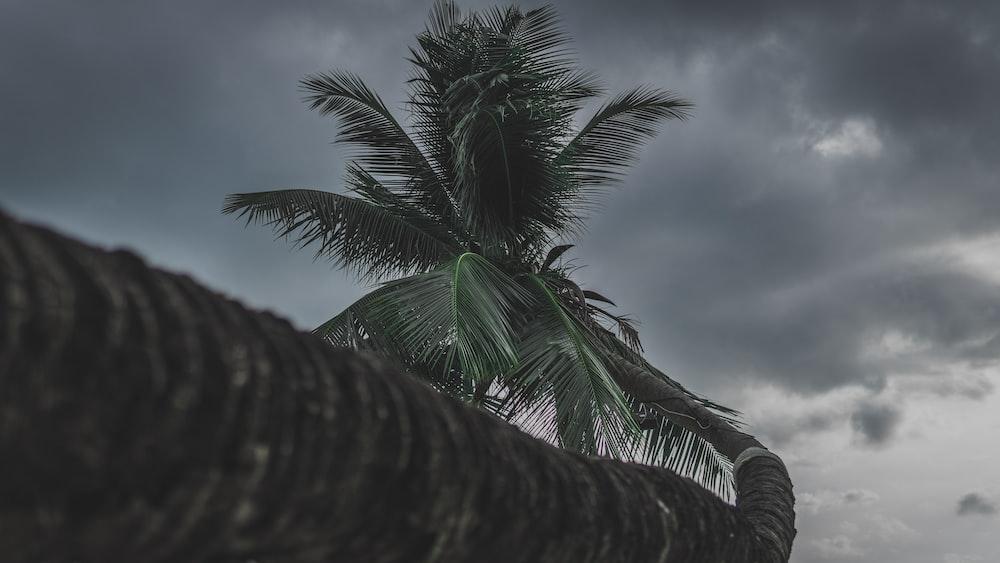 coconut tree under grey sky