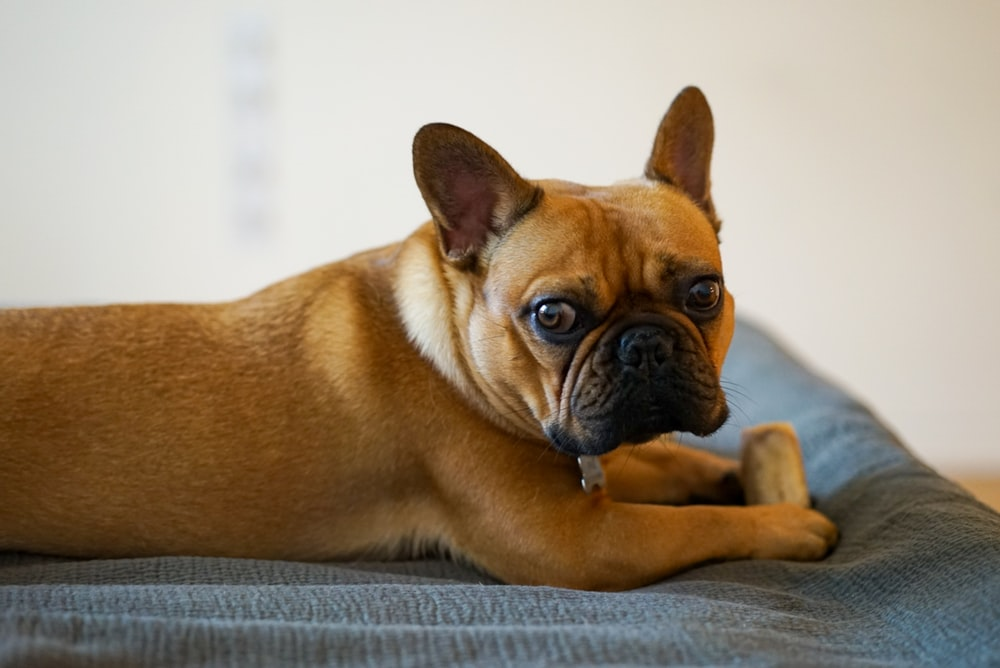 adult brown pug