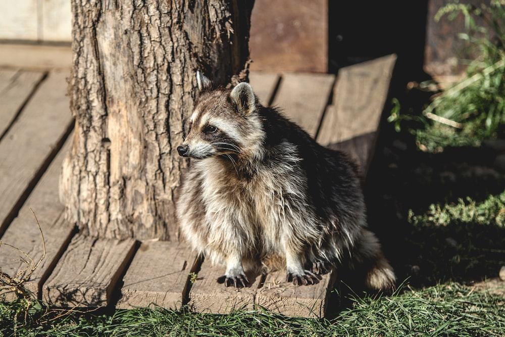 raccoon near tree trunk
