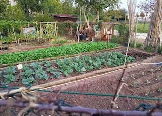 green leafy vegetables in garden