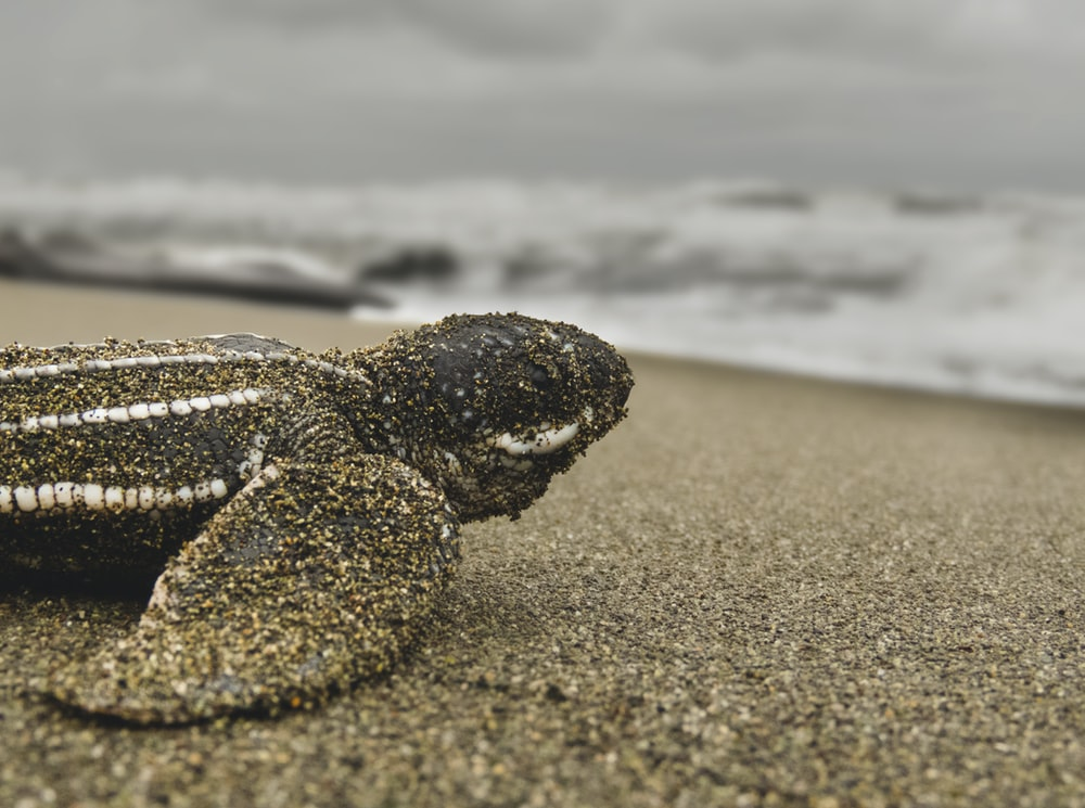 macro photography of gray turtle crawling going on body of water