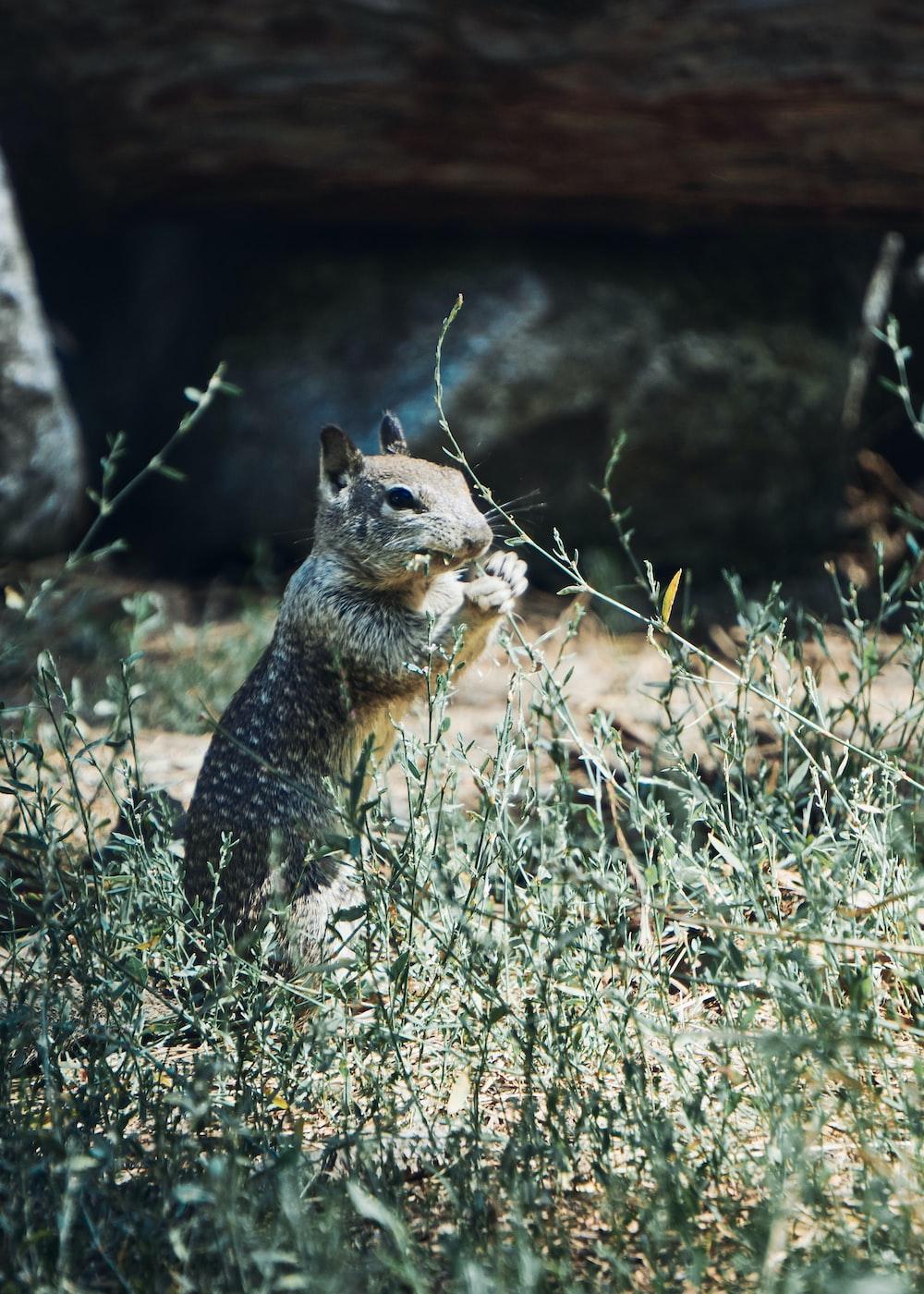 gray rodent eating grass screenshot